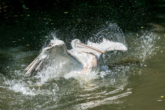 Pelícano en agua Fotografía de archivo libre de regalías