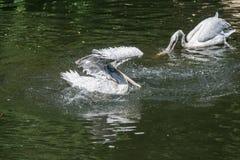 Pelícano en agua Fotografía de archivo