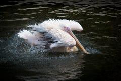 Pelícano en el agua Imagen de archivo