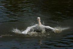Pelícano en el agua Imagenes de archivo