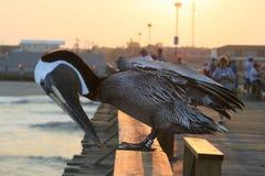 Pelícano en el embarcadero de la playa de Kure Fotos de archivo libres de regalías