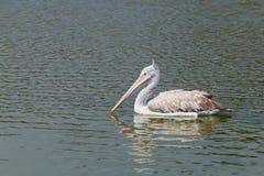 Pelícano en el lago Imagen de archivo