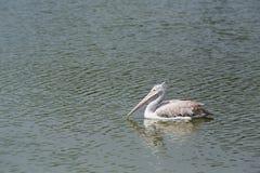 Pelícano en el lago Imágenes de archivo libres de regalías