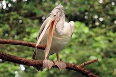 Pelícano en el parque zoológico de Singapur imagenes de archivo