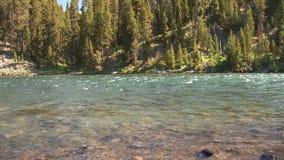 Pelícano en el río de Yellowstone almacen de video