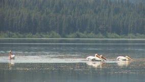 Pelícano en el río de Yellowstone almacen de metraje de vídeo