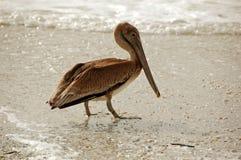 Pelícano en la arena Fotos de archivo libres de regalías