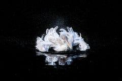 Pelícano en la charca Foto de archivo libre de regalías