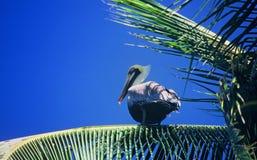 Pelícano en la palmera Fotografía de archivo