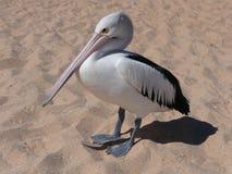 Pelícano en la playa Foto de archivo