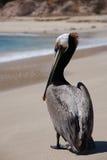 Pelícano en la playa de Los Cabos 3 Imágenes de archivo libres de regalías