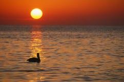 Pelícano en la salida del sol, claves de la Florida, horizontales Imágenes de archivo libres de regalías