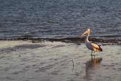 Pelícano en los mudflats en la luz de la tarde Foto de archivo libre de regalías