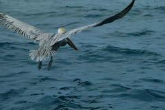Pelícano en vuelo Foto de archivo libre de regalías