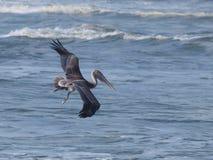 Pelícano en vuelo Imágenes de archivo libres de regalías