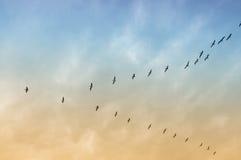Pelícano en vuelo fotos de archivo