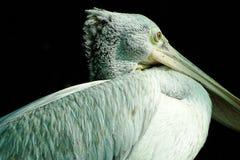 Pelícano o Grey Pelican cargado en cuenta punto imágenes de archivo libres de regalías