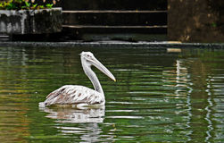 Pelícano o Grey Pelican Punto-cargado en cuenta en la charca foto de archivo