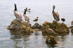 Pelícano (onocrotalus del Pelecanus) y pájaros marinas Fotos de archivo libres de regalías