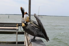 Pelícano, pájaros, hábitat natural, pájaros de la Florida, pájaros del embarcadero, muelle, puerto, pájaro fotografía de archivo libre de regalías