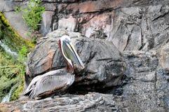 Pelícano peruano en roca Imagenes de archivo