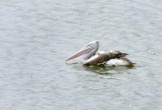 pelícano Punto-mandado la cuenta en el santuario de pájaro de Uppalapadu Fotografía de archivo