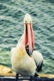 Pelícano que come pescados imágenes de archivo libres de regalías