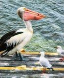 Pelícano que come pescados fotos de archivo