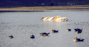 Pelícano que flota en agua Imágenes de archivo libres de regalías