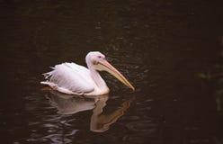 Pelícano que flota en el agua imagen de archivo libre de regalías