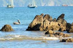 Pelícano que flota entre las rocas Foto de archivo libre de regalías