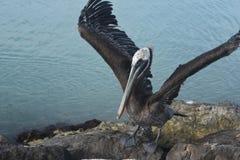 Pelícano que le muestra apagado el ` s Wing Feathers By Extending Them imagen de archivo