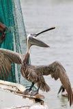 Pelícano que presenta en el lado del barco Fotos de archivo