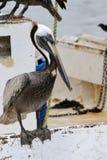 Pelícano que se sienta en el lado del barco Fotos de archivo libres de regalías