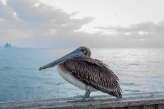 Pelícano que se sienta en un puente Foto de archivo