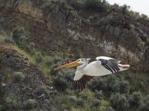 Pelícano que vuela cerca de canto en Toston Montana Fotografía de archivo