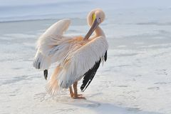 Pelícano rosado Foto de archivo libre de regalías