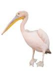 Pelícano rosado Fotografía de archivo libre de regalías