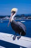 Pelícano Santa Cruz Imágenes de archivo libres de regalías