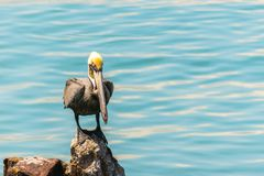 Pelícano solitario por el mar imagen de archivo