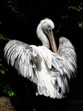 Pelícano y plumas Imagen de archivo