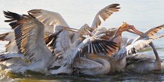 Pelícanos Fotografía de archivo