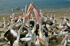 Pelícanos fotos de archivo