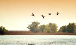 Pelícanos Foto de archivo
