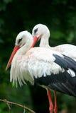 Pelícanos Fotos de archivo libres de regalías
