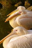 Pelícanos atractivos en el parque de Luise en Mannheim Foto de archivo