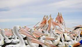 Pelícanos australianos Foto de archivo