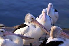 Pelícanos australianos en el crepúsculo Fotos de archivo libres de regalías
