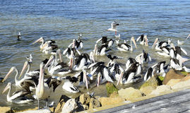 Pelícanos australianos, isla del canguro Imagen de archivo libre de regalías