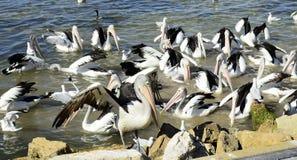 Pelícanos australianos, isla del canguro Imagen de archivo